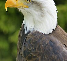 Bald Eagle  by MendipBlue