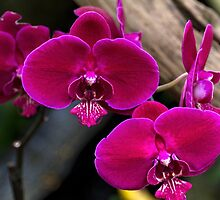 Magenta Orchid by Elaine Teague