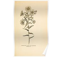Harper's Guide to Wild Flowers 1912 Creevey, Caroline and Stickney, Alathea 129 Purple Stem Aster Poster