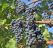 Napa Valley grapes by Christopher Barton