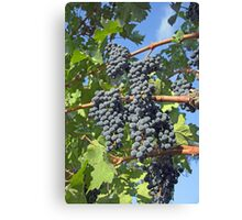 Napa Valley grapes Canvas Print