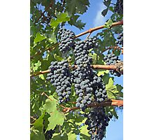 Napa Valley grapes Photographic Print