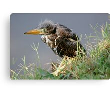 Great Blue Heron - Baby Canvas Print
