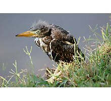 Great Blue Heron - Baby Photographic Print
