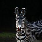 Grevy Zebra by Franco De Luca Calce