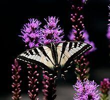 Swallowtails in Oregon by dazlm