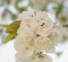 Apple blossoms by Judi Lion