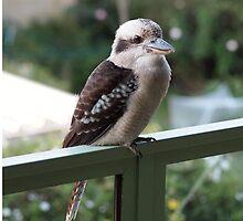 A kookaburra at rest by Julie Haydon