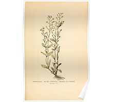 Harper's Guide to Wild Flowers 1912 Creevey, Caroline and Stickney, Alathea 036 Brook Weed or Water Pimpernel Poster