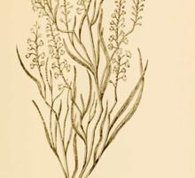 Harper's Guide to Wild Flowers 1912 Creevey, Caroline and Stickney, Alathea 014 Coast Jointweed Sticker