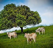 Three Cows by Donna Rondeau