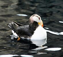 Puffin by Robert Phelps