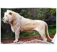 Savannah White Lion Poster