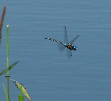 Blue Mottled Darner  by Chuck Gardner