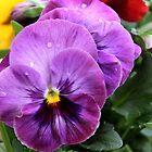 Spring Greetings - Pansies by vbk70