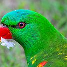Scaly-Breasted Lorikeet by Aaron Murgatroyd