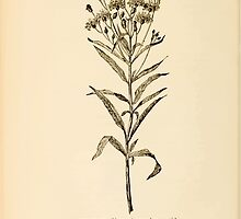 Harper's Guide to Wild Flowers 1912 Creevey, Caroline and Stickney, Alathea 125 Ironweed by wetdryvac