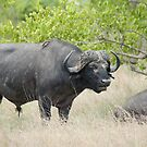 Dozing Buffalo by Vickie Burt