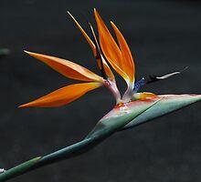 Bird Of Paradise by Tamara Bush