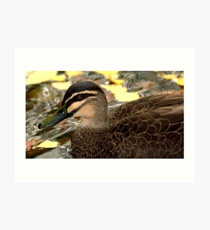 Pacific Black Duck II Art Print