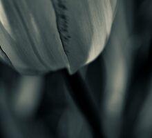 Tulip by Jean-François Dupuis