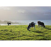 cow glow, New Zealand  Photographic Print