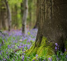 A Bluebells View by Heidi Stewart