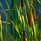 Cattails by kittyrodehorst