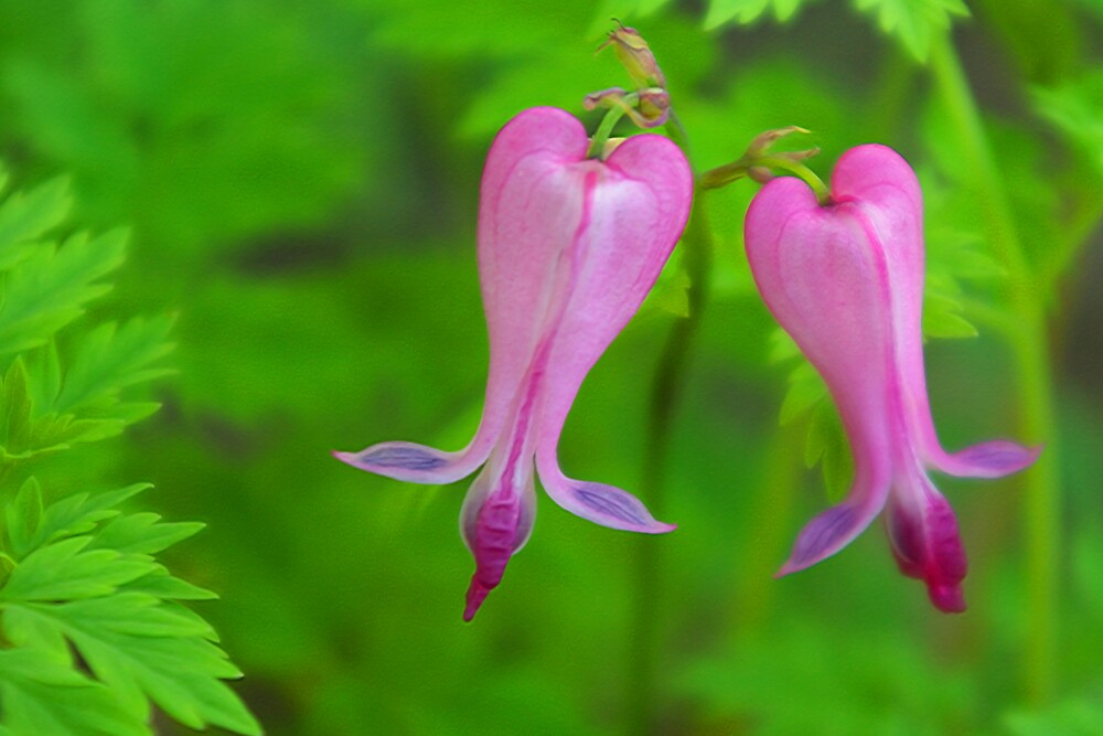 Bleeding Hearts by kittyrodehorst