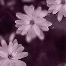 Magnolia dance (purple) by LudaNayvelt