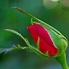 Red Rose Bud by kittyrodehorst