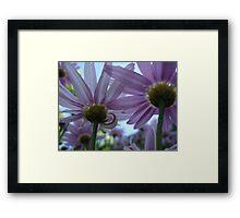 Purple Daisy Petals Framed Print