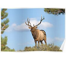 Elk, Rocky Mountain National Park Poster