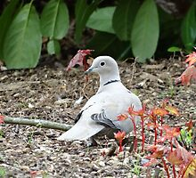 Dove Searching In Foliage by Caroline Smalley