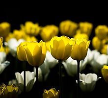 Tulips Yellow And White by luckypixel