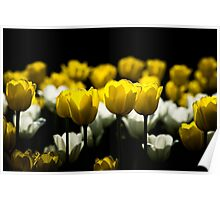 Tulips Yellow And White Poster