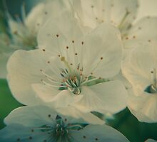 Cherry Blossom by pASob-dESIGN