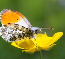 Orange Tip on Buttercup by Jo Nijenhuis