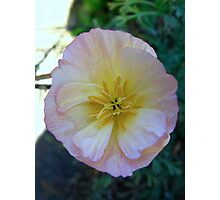 California Poppy (2) Photographic Print