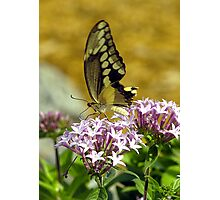 Arnolds Butterfly Photographic Print