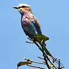 Lilac Breasted Roller - Victoria Falls, Zimbabwe by Bev Pascoe