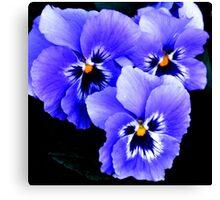 Blue Pansies in Lyme town gardens ,Dorset UK Canvas Print