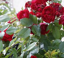 Red Roses For You! by Sandra Foster