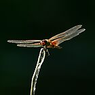 Red Dragonfly by David Cash