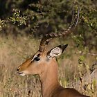 Impala by Mike Gregory