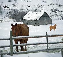 horses and barn in snow covered field , near Kamloops , British Columbia by Christopher Barton