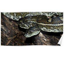 Coastal Carpet Python Poster