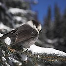 Whiskey Jack , EC Manning Park , British Columbia  by Christopher Barton