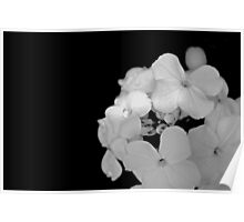 White Phlox in Black and White  Poster