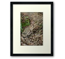 toad on a maple  Framed Print